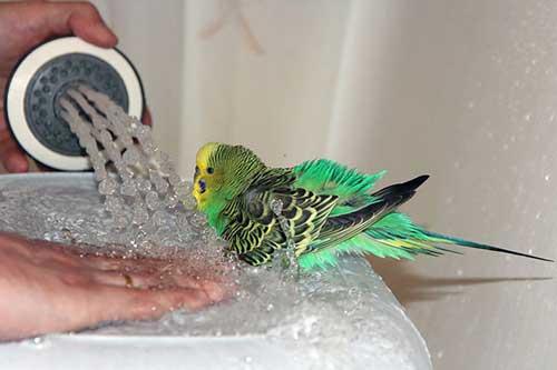 Купание волнистого попугайчика