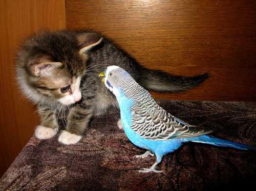 Волнистый попугайчик и кот