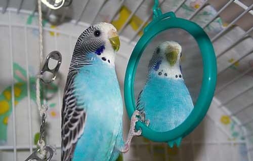 Волнистый попугайчик и зеркало