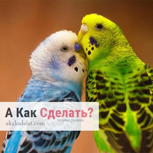 Как правильно ухаживать за волнистыми попугайчиками