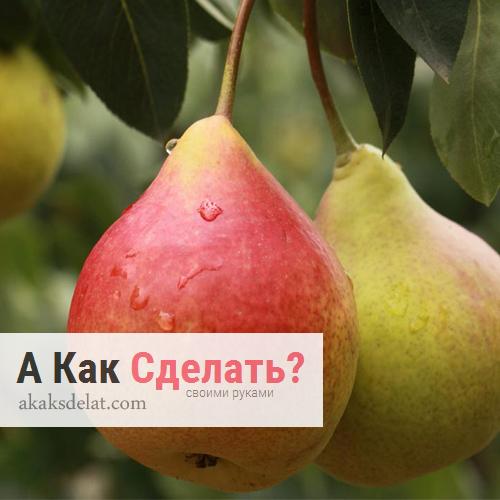 Как вырастить грушу своими руками