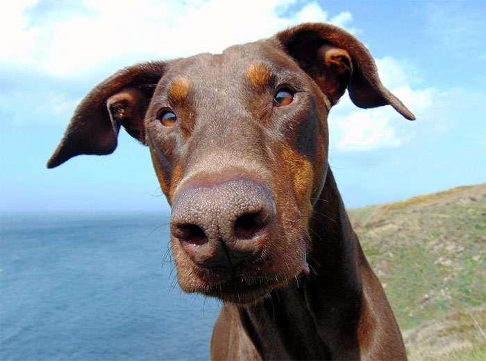 Глютен для собак