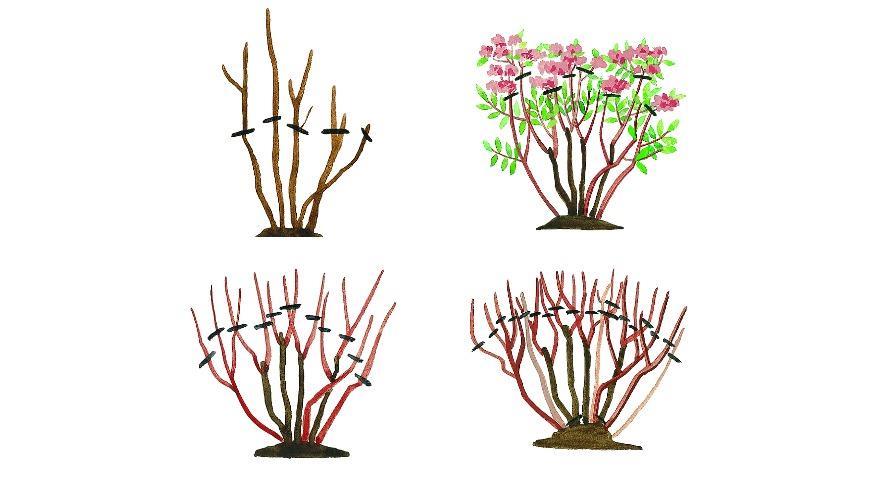Обрезка спиреи летнего срока цветения